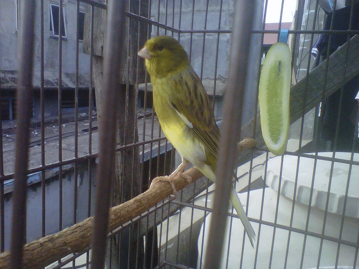 Mengenal Ciri Khas Burung Kenari Af Paling Lengkap Kenari Dan Jalak