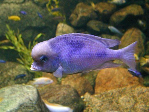Cichlid Fish The African Cichlid Fish Is One Of The Most