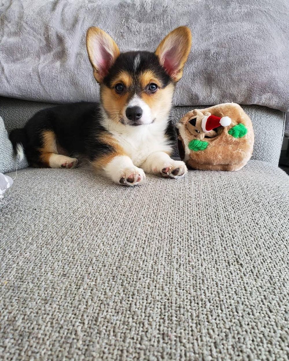 Quality Pembroke Welsh Corgi Pups Home Available Puppies In 2020 Welsh Corgi Puppies Corgi Welsh Corgi