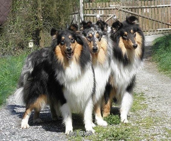 Pin By Cindy Dorsten On Collies Collie Dog Rough Collie Collie