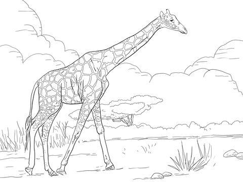 Jirafa Reticulada Dibujo para colorear | animales | Pinterest ...