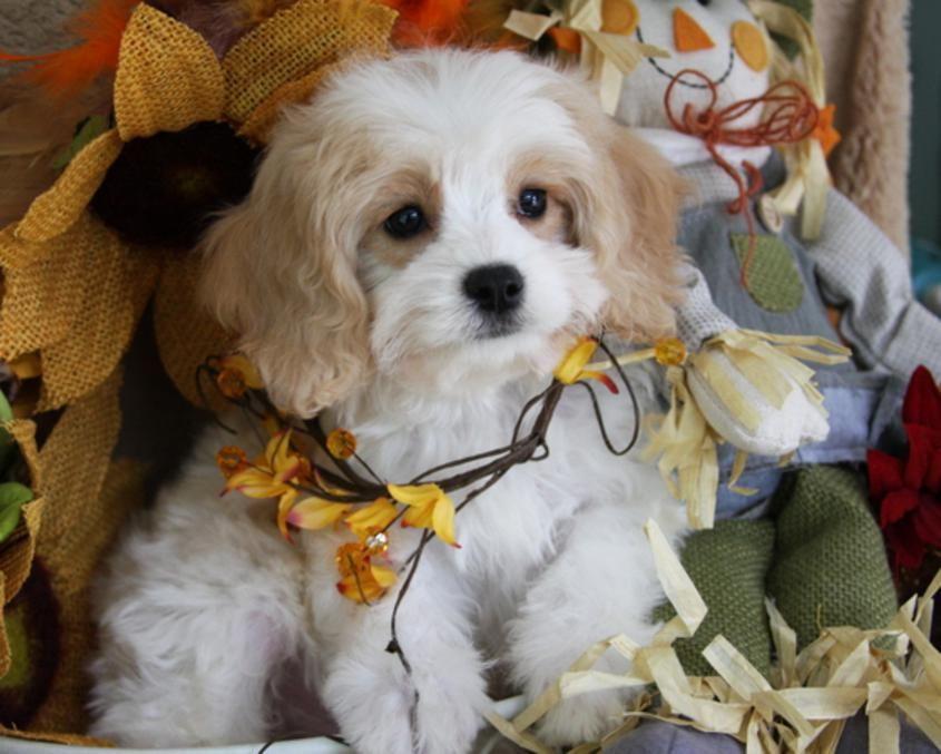 Available Cavachon Puppies Foxglove Farm Cavachon Cavachon Puppies Cavapoo Puppies