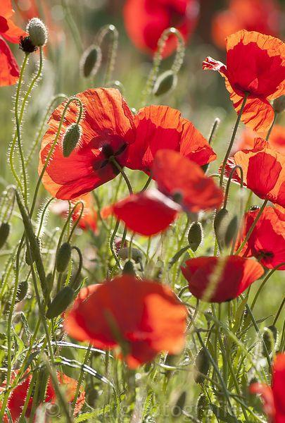 Photo Papaver Rhoeas Mohn Klatschmohn By Tina Horst Herzig Photography Dikie Cvety Lugovye Cvety Kartiny Maslom