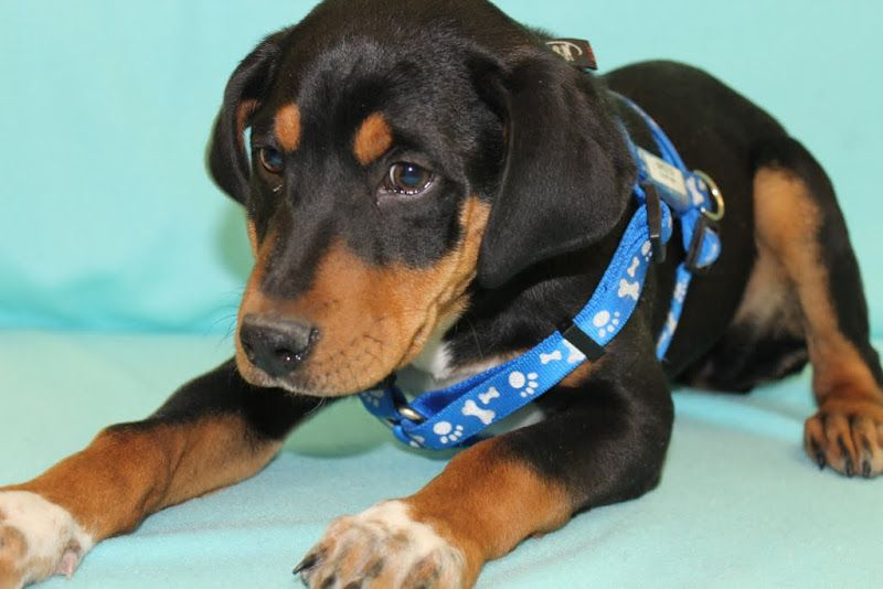 Adopted! Sneetch, a Pinscher/Swiss Mountain Dog mix! www.muttsavers.org