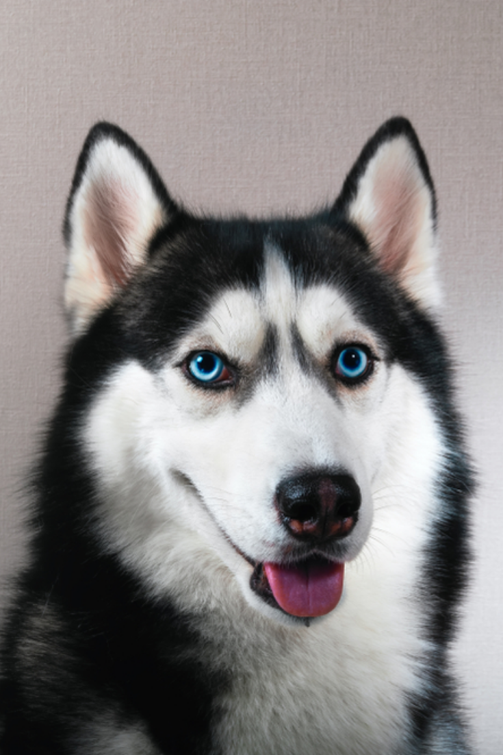 Portrait Happy Emotion Husky Dog Siberian Husky Black And White