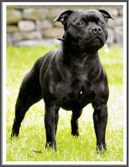 Staffies Preferidos Staffy Dog English Staffordshire Bull Terrier Staffordshire Bull Terrier