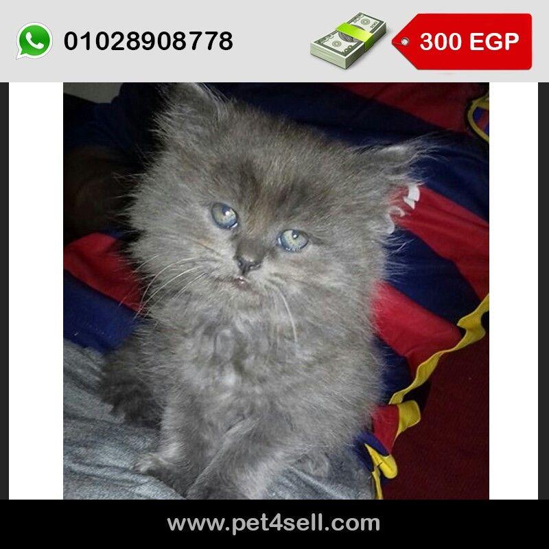 قط شيرازى مون فيس متعود على الرمله 55 يوم 01028908778 Cats Animals