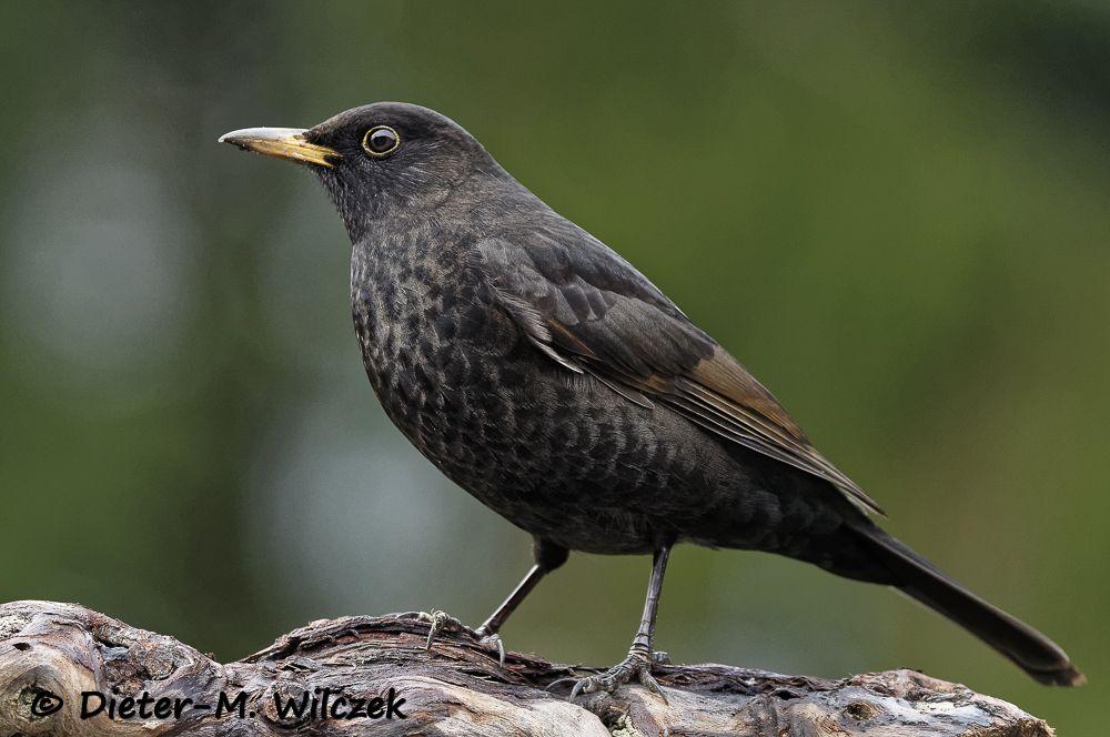Amsel Common Blackbird Mit Bildern Tiere Heimische Vogel
