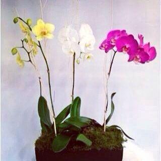 Orquídeas Phalenopsis www.ingeniofloral.com