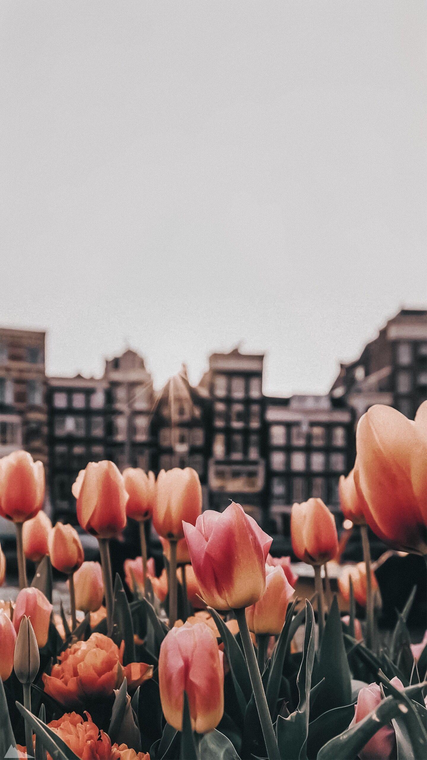 Tulipanes fondo de pantalla para el teléfono in 2020