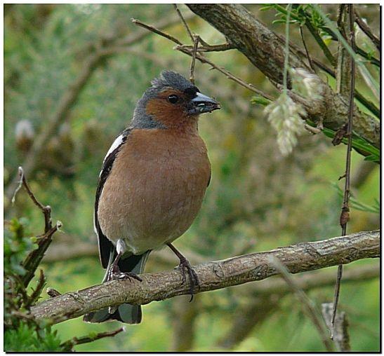 Pinson Des Arbres Naturepassion Pinson Des Arbres Oiseaux Des Jardins Parc Et Jardin