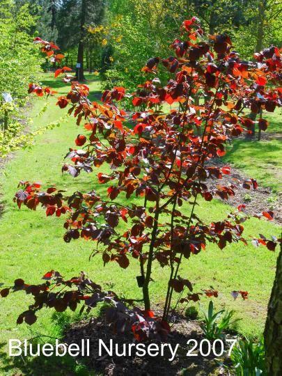 Bluebell Nursery Trees Shrubs Corylus Colurna Te Terra Red