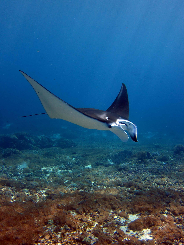 Manta Ray Inside Komodo National Park Indonesia Ocean Creatures