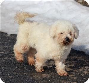 Quakertown Pa Bichon Frise Meet Morgan A Dog For Adoption