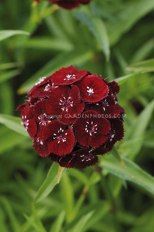 sweet william 39 sweet black cherry 39 dianthus barbatus dianthus pinterest dianthus. Black Bedroom Furniture Sets. Home Design Ideas