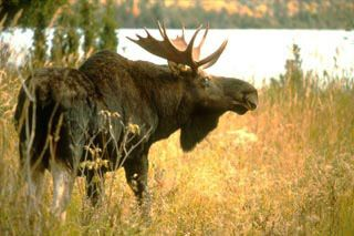 """The moose (North America) or Eurasian elk (Europe) (Alces alces) is the largest extant species in the deer family. Moose are distinguished by the palmate antlers of the males; other members of the family have antlers with a dendritic (""""twig-like"""") configuration. Moose typically inhabit boreal and mixed deciduous forests of the Northern Hemisphere in temperate to subarctic climates. Moose used to have a much wider range but hunting and other human activities greatly reduced it over the years."""