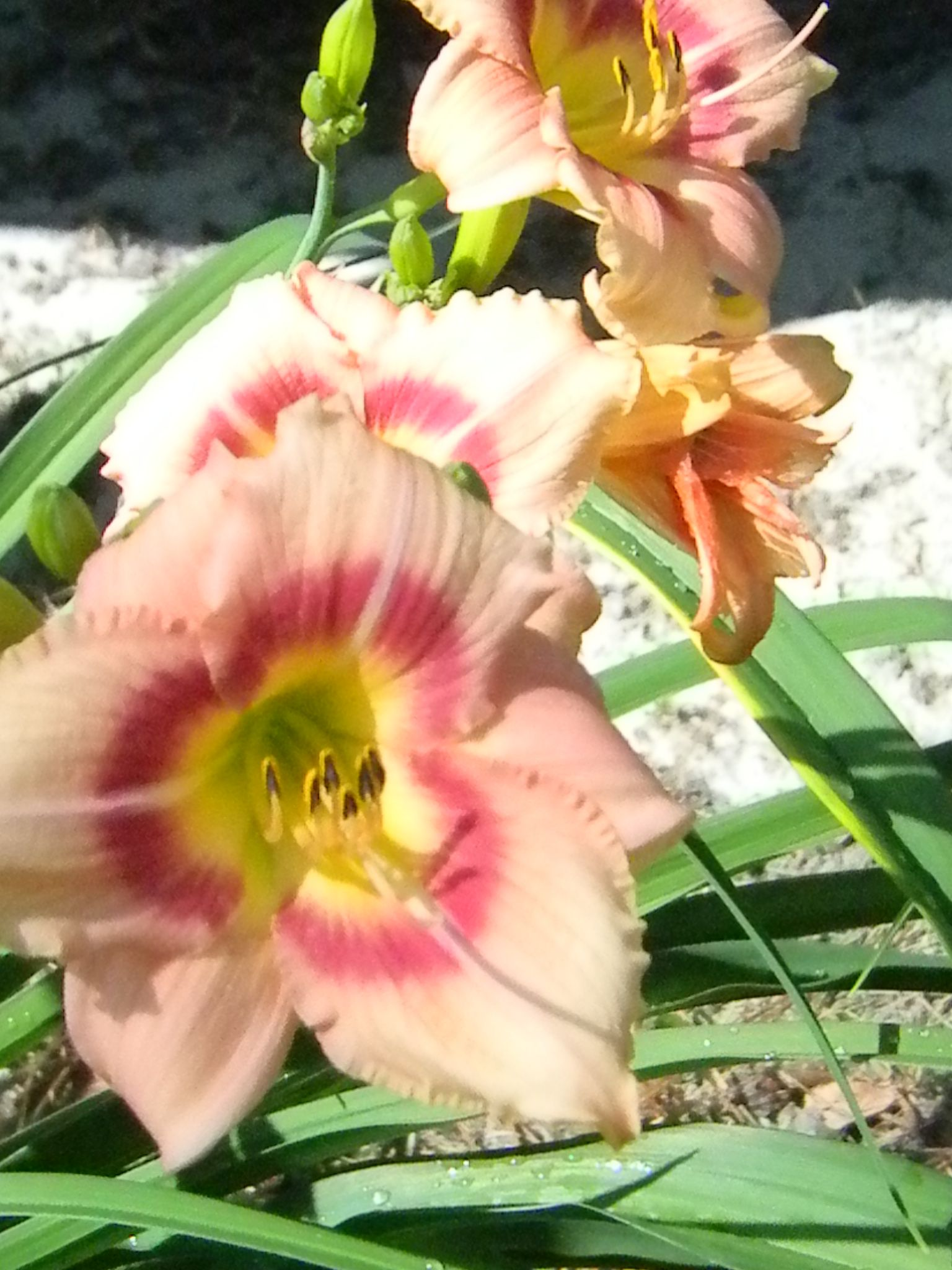 Beautiful peach colored flowers l grown in liberty county