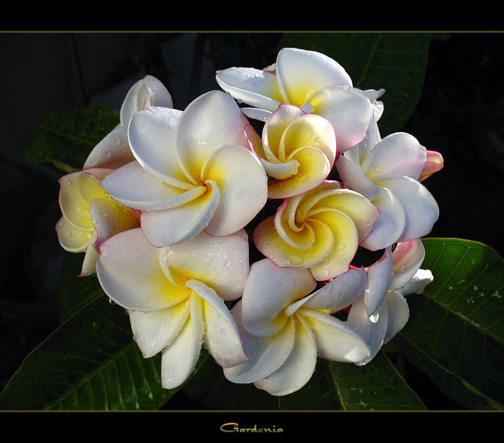 Pictures of hawaiian flowers hawaiian flowers the plumeria pictures of hawaiian flowers hawaiian flowers the plumeria gardenia hawaii travel hd pictures izmirmasajfo