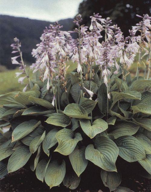 Krossa Regal Hosta Midwest Landscaping Garden Plantain Lily