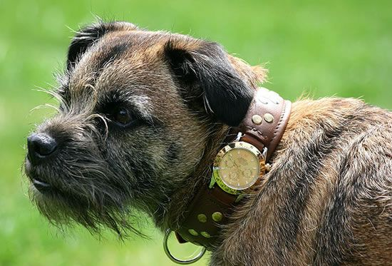 We Don T Have These Rolex Dog Collars On Dogids Com But Maybe We Should Think About It Haha Border Terrier Pet Accessories Dogs