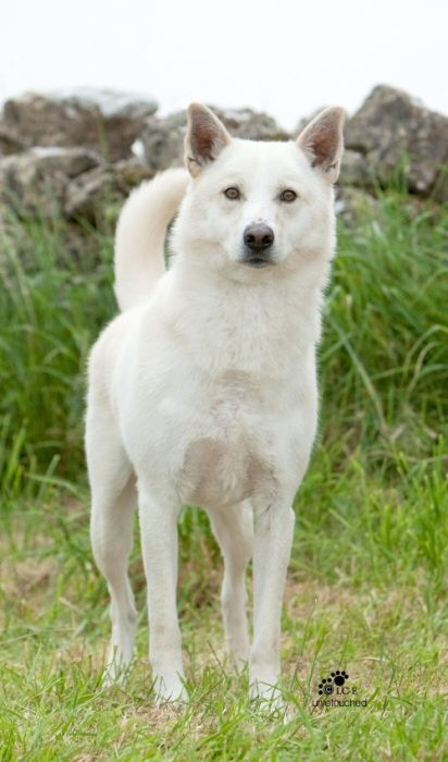 ICDCA Canaan Dog of the Month