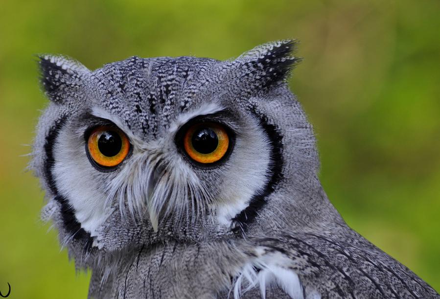 }{      OWLS