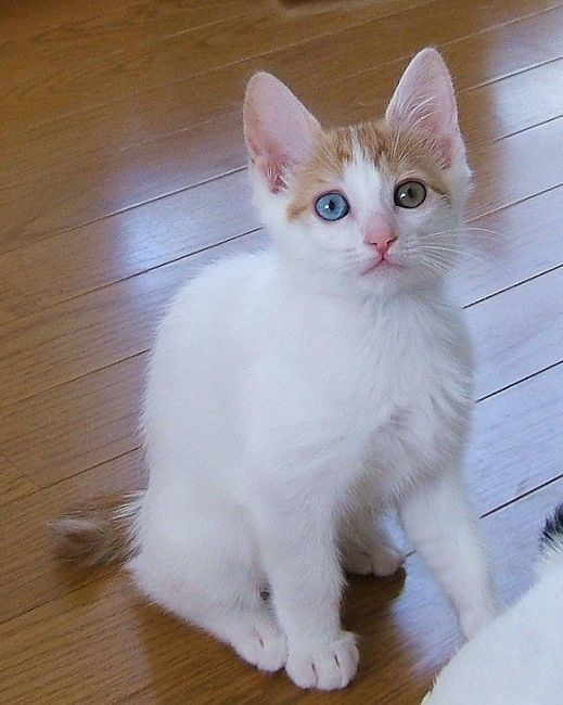 pictures of japanese bobtail kitten