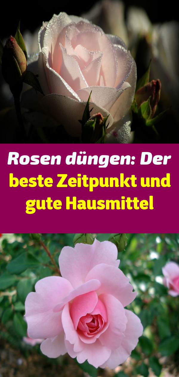 Rosen Düngen Zeitpunkt