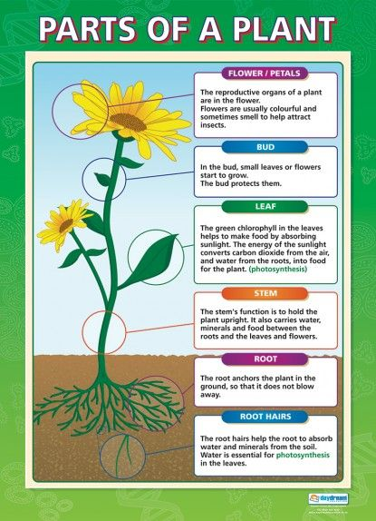 Parts Of A Plant Science Educational School Posters Plant Science Parts Of A Plant Horticulture Education