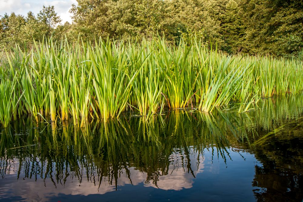 Calamus Essential Oil Is Obtained From The Roots Of Acorus Calamus Better Known As Sweet Flag Calamus Oil Has Been Ex Medicinal Plants Acorus Crop Protection