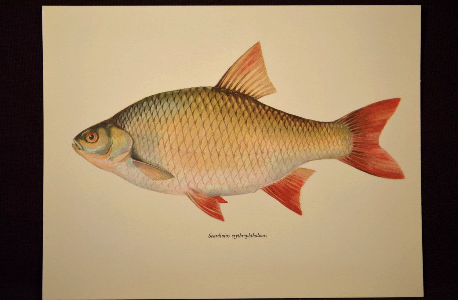 Fish Wall Decor Cabin Wall Art Fish Print Fishing Print | Nature ...