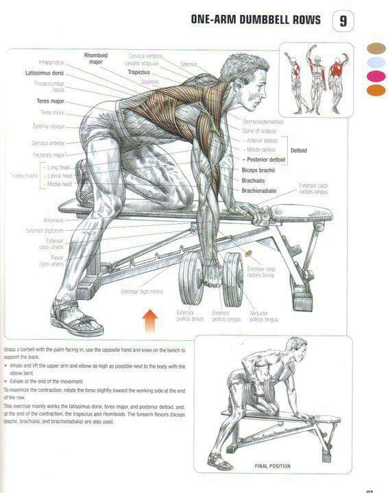 Remo con mancuerna musculos implicados