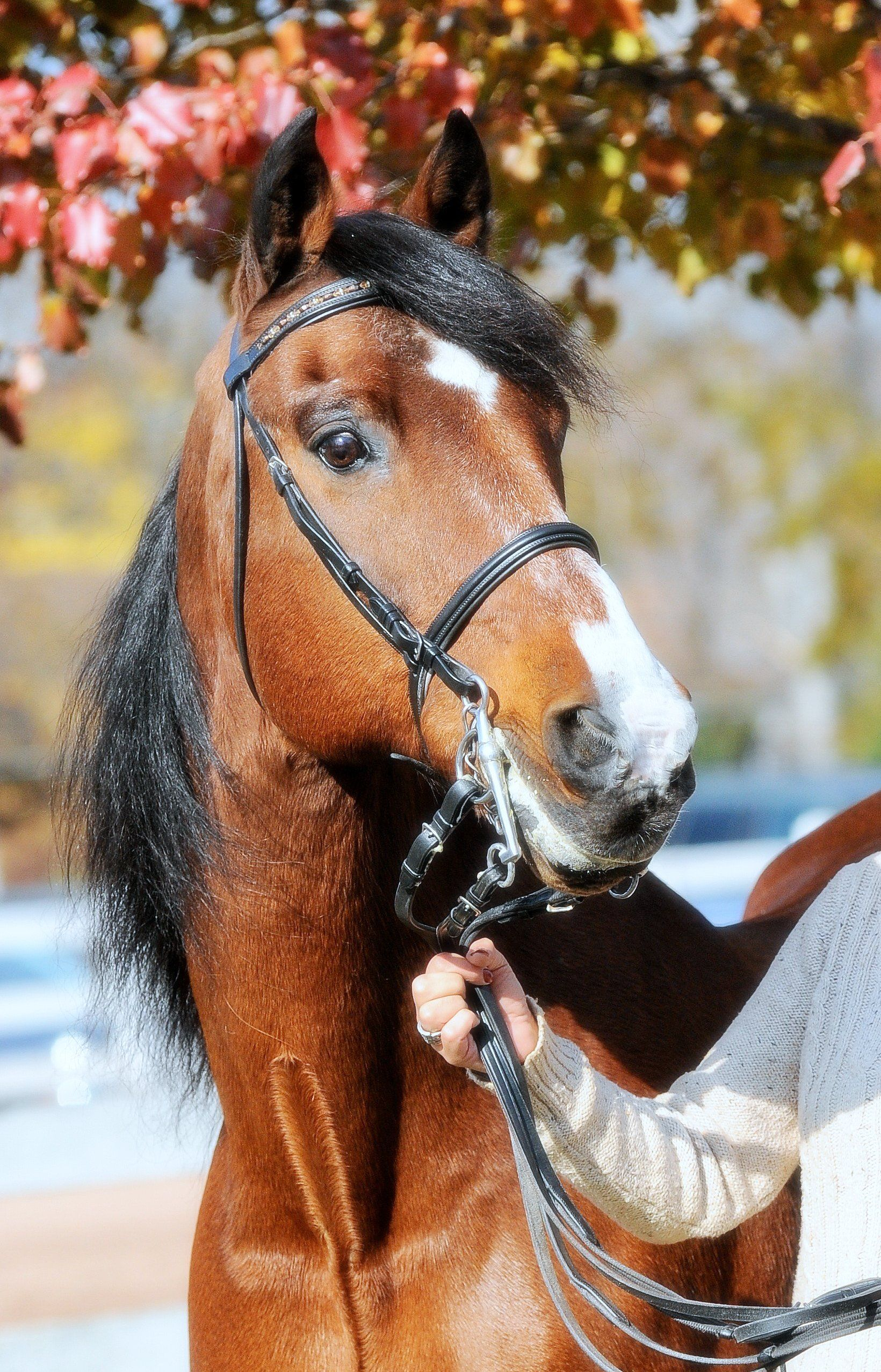 My Beautiful Morgan Gelding Equinox Legacy Aka Gus He Was My Riding