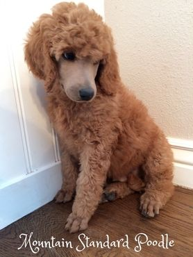 Martin Is An 8 Week Old Standard Poodle Puppy Martin Is A Well