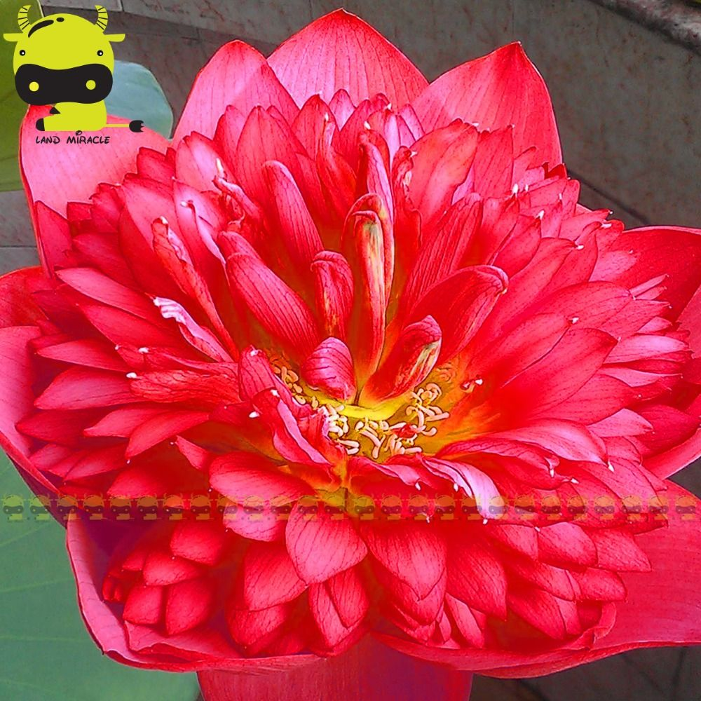 1 Seedpack 100 Real Torch Light Red Lotus Flower Seed Rare Big