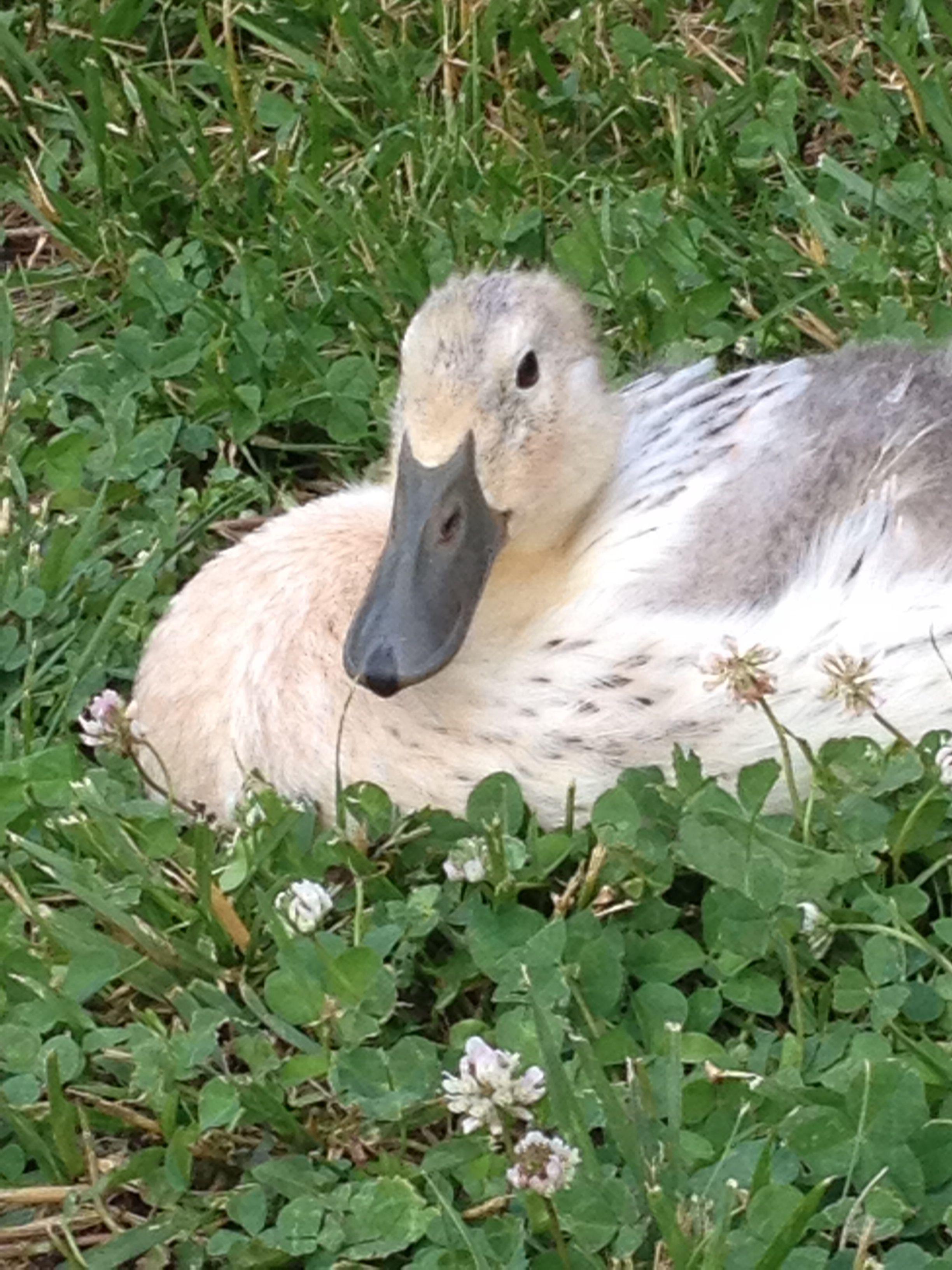 welsh harlequin duck 4 weeks old ducks pinterest welsh