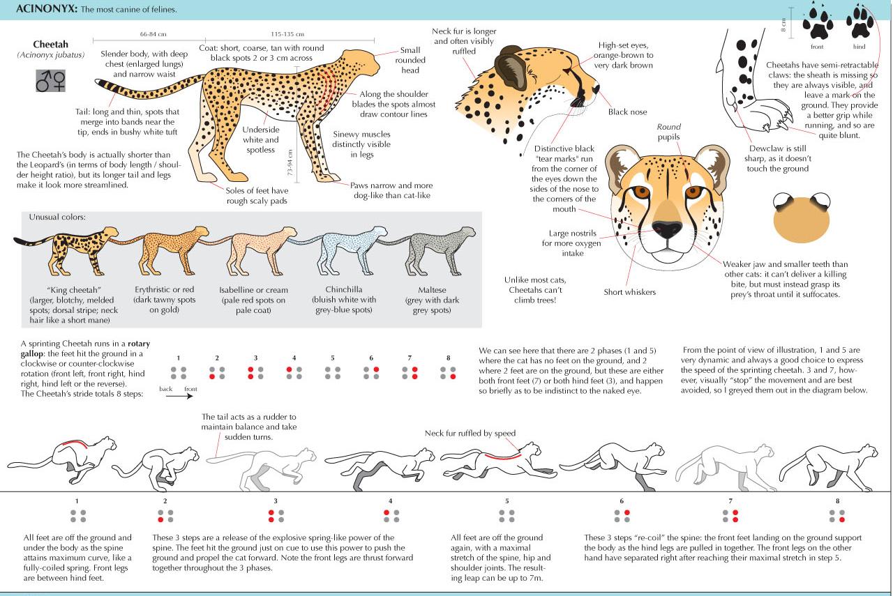 Pin by Angela Kirkpatrick on Feline Anatomy   Pinterest   Art ...