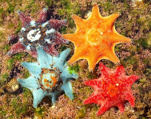 Cushion Sea Stars (also named Carpet Sea Stars or Eight-armed Sea Stars) from New South Wales, Australia