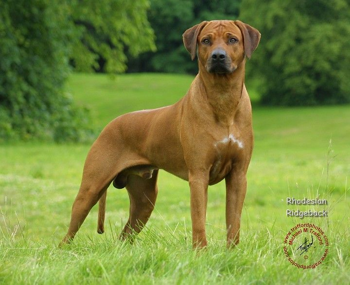 The Rhodesian Ridgeback A Dog Breed Developed In Southern Africa