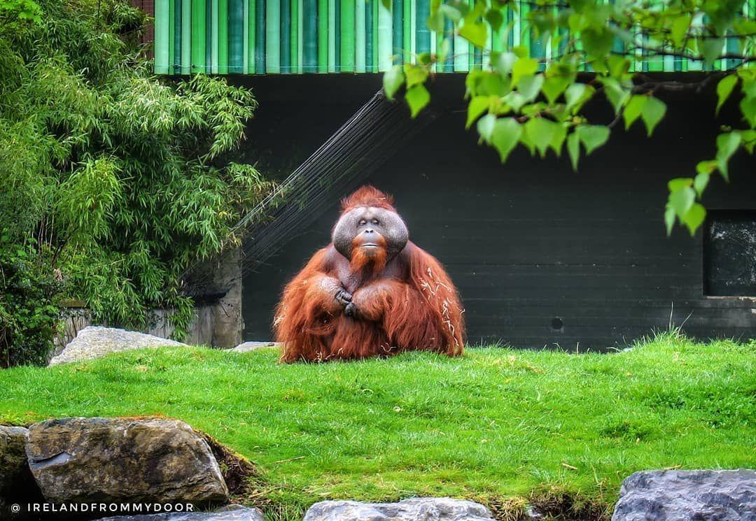 Orangutan At Dublin Zoo Ireland Dublin Zoo Orangutan Animals
