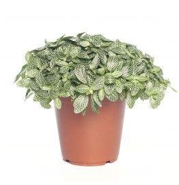 Mozaïekplant (Fittonia 'Mont Blanc') D 15 cm