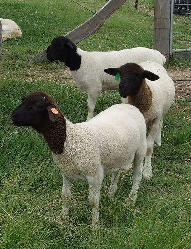 PRIME FULL BLOOD DORPER LAMBS | I WOOLY LOVE SHEEP | Sheep