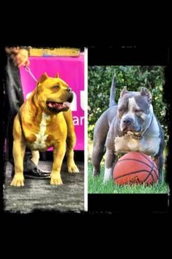 Ukc Xl Bullies Dogs Dogs And Puppies Puppies