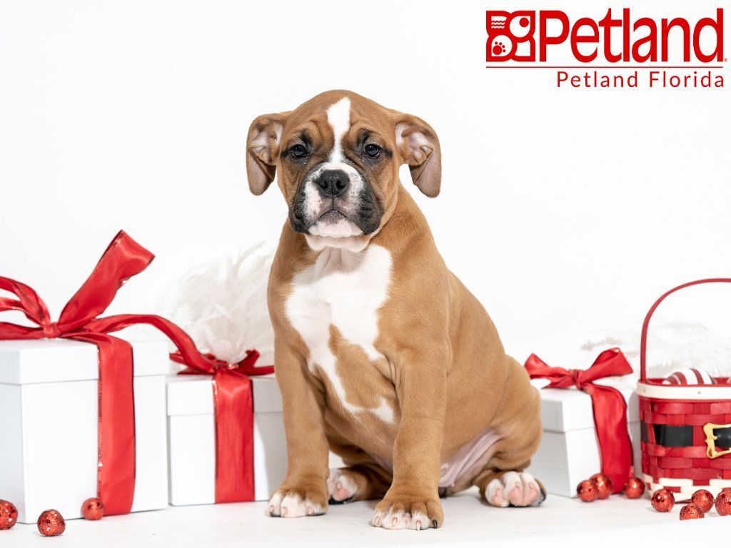 Petland Florida Has Valley Bulldog Puppies For Sale Check Out All Our Available Puppies Valleybulldog Petlan Valley Bulldog Puppy Friends Bulldog Puppies