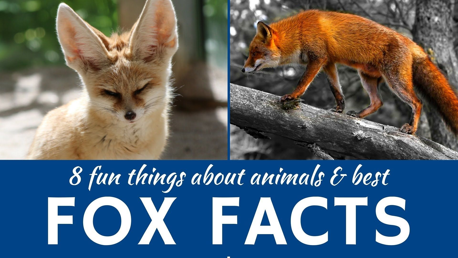 Foxes 8 Interesting Facts About Wild And Domestic Animals