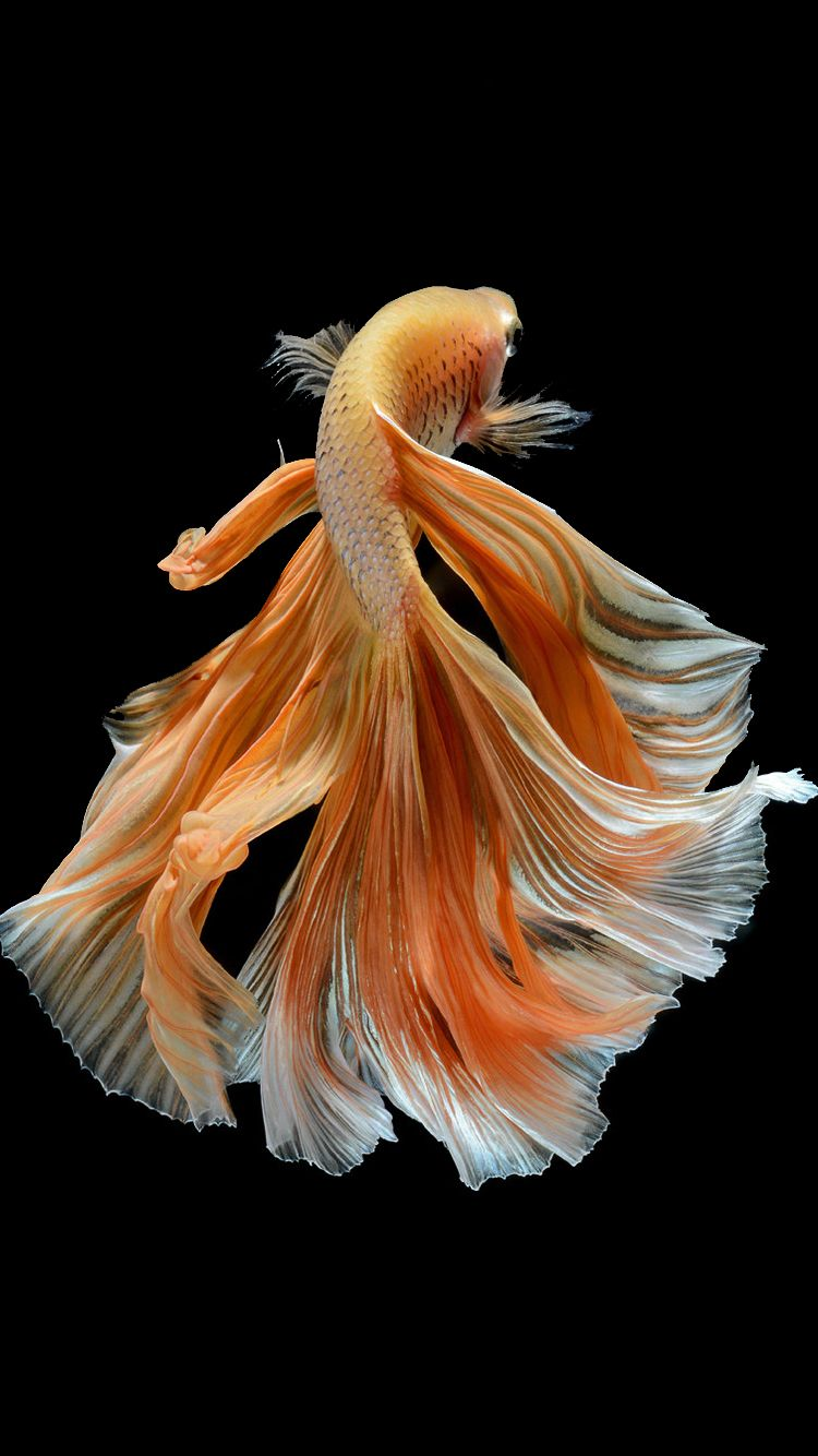 Apple IPhone 6s Wallpaper With Elegant Male Gold Betta Fish In Dark Background