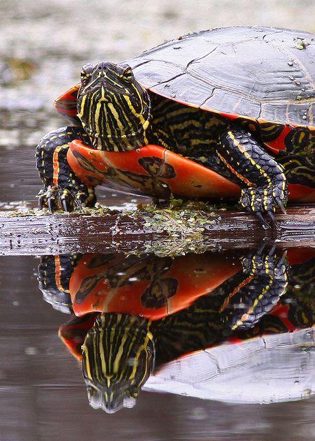 Painted Turtle 3 Turtle Turtle Painting Animals Beautiful