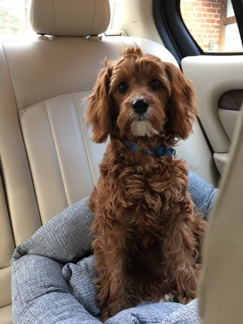 Our Cavapoo Now 10 Months Old She Is So Cute Cavapoo Puppies Cavapoo Cute Dogs And Puppies