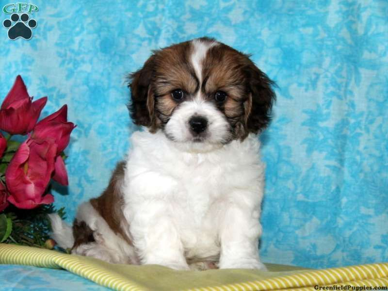 Timmy Cavachon Puppy For Sale From Quarryville Pa Cavachon