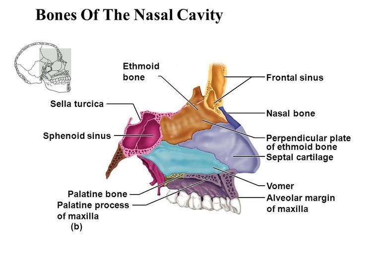 Ethmoid bone anatomy